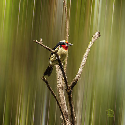 Photograph - Black Spotted Barbet by Daniel Hebard