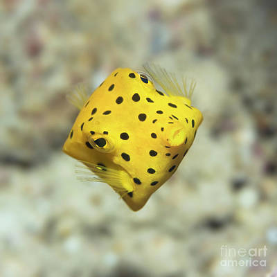 Photograph - Black-spotted Boxfish by MotHaiBaPhoto Prints