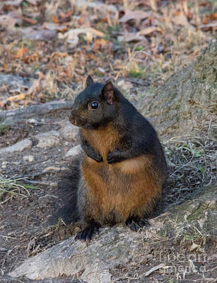Photograph - Black Squirrel 2 by Chris Scroggins