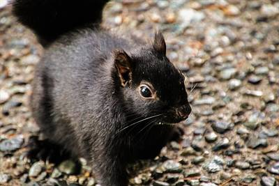 Photograph - Black Squirrel - Close Up by Perggals - Stacey Turner