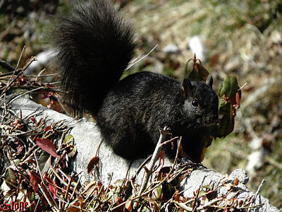 Photograph - Black Squirrel by September  Stone