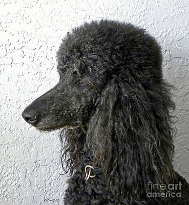 Photograph - Black Standard Poodle by Terri Mills