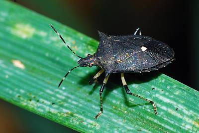Photograph - Black Stink Bug by Larah McElroy
