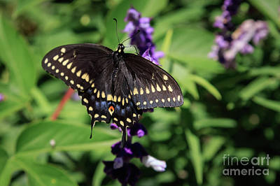Photograph - Black Swallotail by Richard Smith