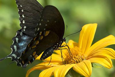 Photograph - Black Swallowtail Drinking by Liza Eckardt