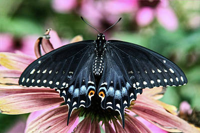 Photograph - Black Swallowtail 3 by Pete Federico
