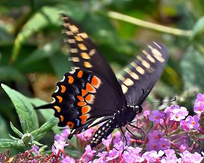 Photograph - Black Swallowtail 5 by Kim Bemis