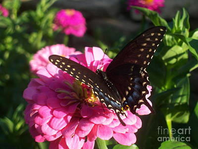 Photograph - Black Swallowtail And Zinnia by Cindy Fleener