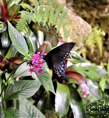 Photograph - Black Swallowtail by Brigitte Emme