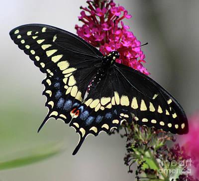 Photograph - Black Swallowtail Butterfly 2016 by Karen Adams