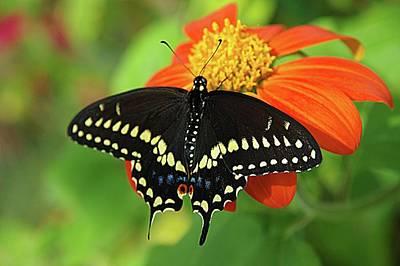 Photograph - Black Swallowtail Butterfly #3 by Karen McKenzie McAdoo