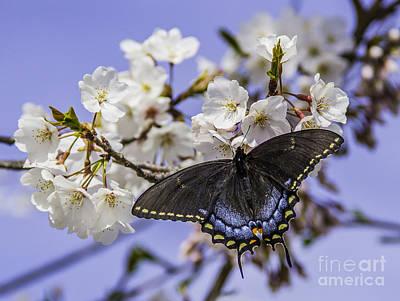 Photograph - Black Swallowtail Butterfly by Allen Nice-Webb