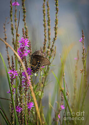 Photograph - Black Swallowtail Butterfly by Brad Marzolf Photography