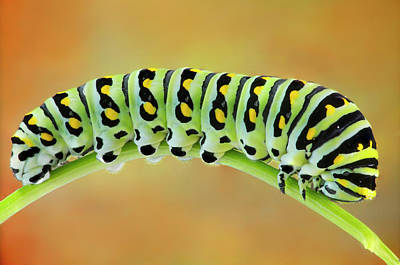 Photograph - Black Swallowtail Butterfly Caterpillar II by Susan Candelario