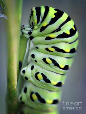 Photograph - Black Swallowtail Butterfly Caterpillar Macro by Karen Adams