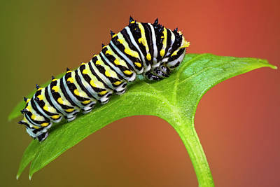 Photograph - Black Swallowtail Butterfly Caterpillar by Susan Candelario