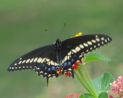 Photograph - Eastern Black Swallowtail Butterfly by Donna Brown