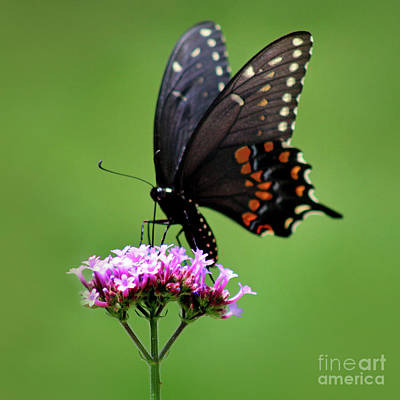 Photograph - Black Swallowtail Butterfly Green Square by Karen Adams