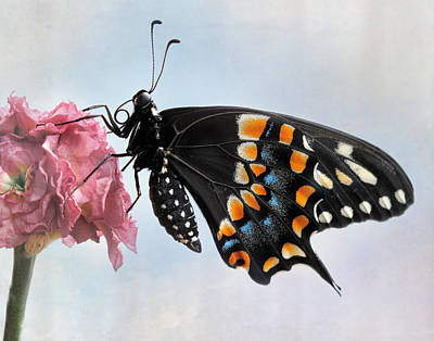 Photograph - Black Swallowtail Butterfly II by David and Carol Kelly