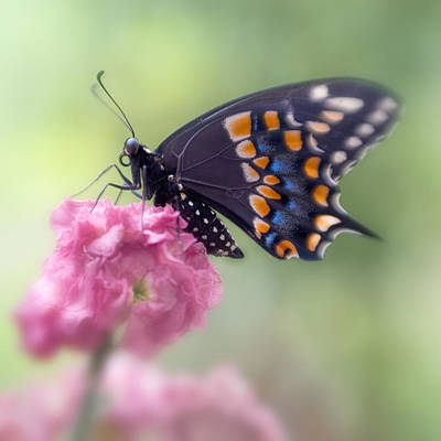 Photograph - Black Swallowtail Butterfly IIi by David and Carol Kelly