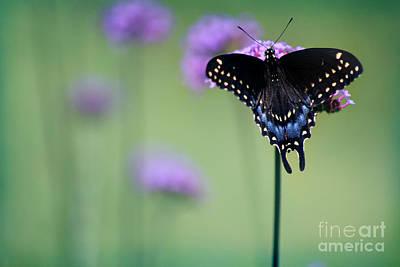 Photograph - Black Swallowtail Butterfly In Meadow by Karen Adams