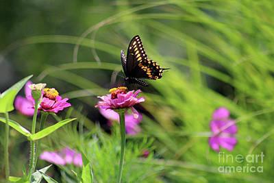 Photograph - Black Swallowtail Butterfly In Summer by Karen Adams