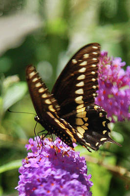 Photograph - Black Swallowtail Butterfly by Kathleen Stephens