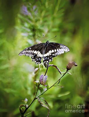 Black Swallowtail Butterfly Art Print by Kerri Farley
