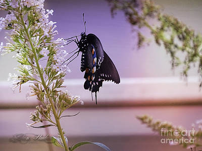 Photograph - Black Swallowtail Butterfly by Melissa Messick