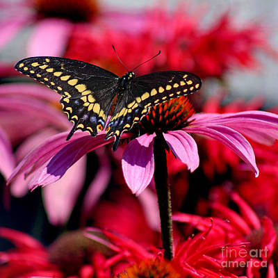 Photograph - Black Swallowtail Butterfly On Coneflower Square by Karen Adams