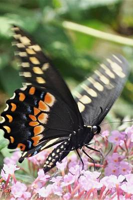 Photograph - Black Swallowtail Butterfly On Pink by Kim Bemis