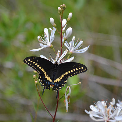 Photograph - Black Swallowtail Butterfly On Tar Flowers by rd Erickson