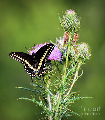 Photograph - Black Swallowtail Butterfly On The Thistle by Kerri Farley