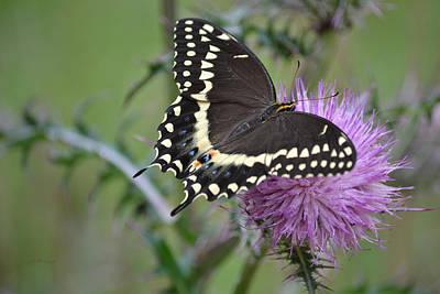 Black Swallowtail Butterfly - Papilio Polyxenes 1 Art Print