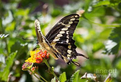 Photograph - Black Swallowtail Butterfly by Robert Bales