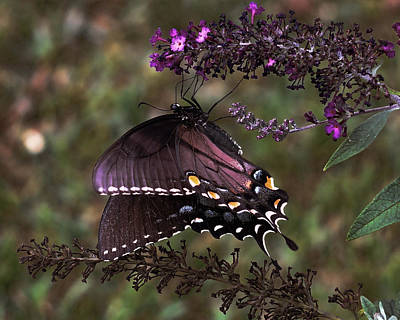 Photograph - Black Swallowtail Butterfly by TnBackroadsPhotos