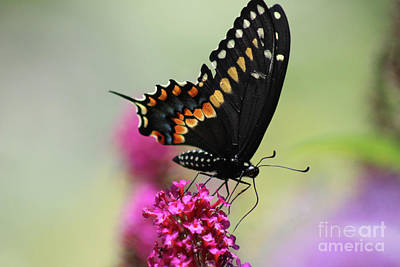Photograph - Black Swallowtail Butterfly Ventral View 2016 by Karen Adams