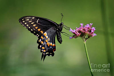 Photograph - Black Swallowtail Butterfly Ventral View 2017 by Karen Adams