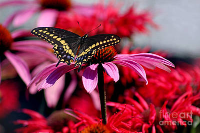 Horsemint Photograph - Black Swallowtail Butterfly With Coneflowers And Bee Balm by Karen Adams