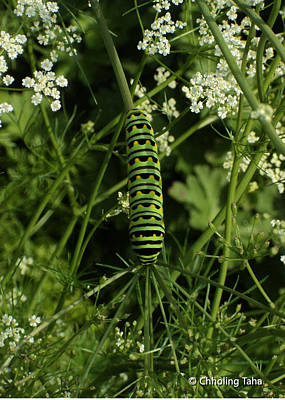 Painting - Black Swallowtail Butteryfly Caterpillar by Chholing Taha