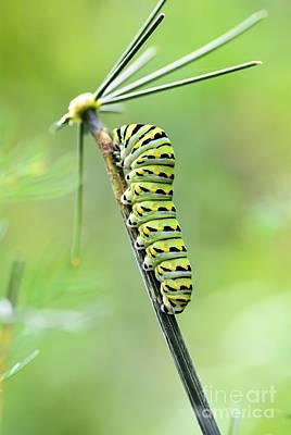 Black Swallowtail Caterpillar Art Print