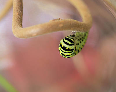 Photograph - Black Swallowtail Caterpillar Forming A Chrysalis by MM Anderson