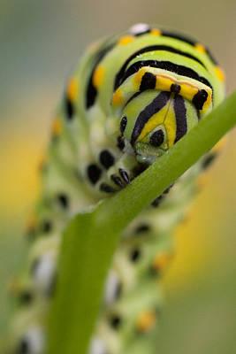 Photograph - Black Swallowtail Caterpillar by Jeff Folger