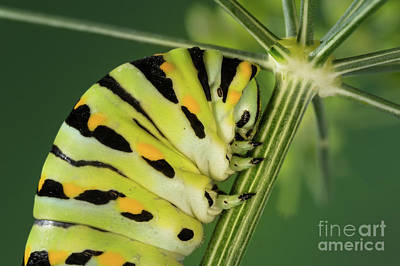 Black Swallowtail Caterpillar On Dill Art Print