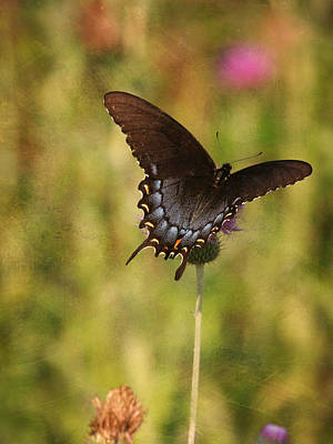 Photograph - Black Swallowtail by Charles McKelroy