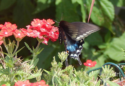 Photograph - Black Swallowtail  by Dave Nevue