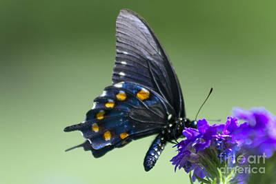 Photograph - Black Swallowtail by David Cutts