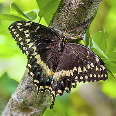 Photograph - Black Swallowtail by Dawn Currie