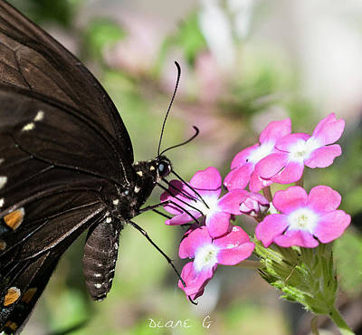 Photograph - Black Swallowtail by Diane Giurco