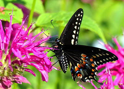 Photograph - Black Swallowtail by Donna Papps